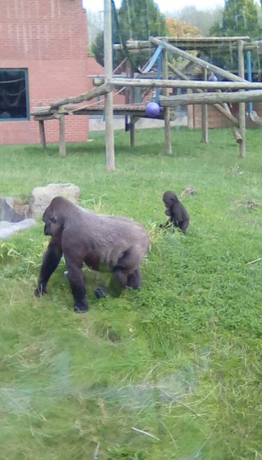 We have been reading about a family of gorillas.