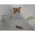 Durga drew the life cycle of a butterfly.