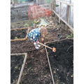 Working hard on the allotment