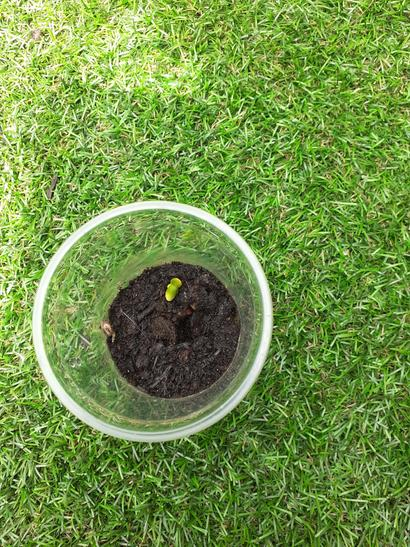 Family are delighted watching Sunflower grow.