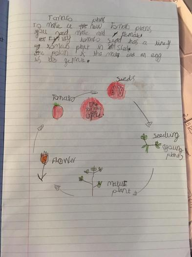 The Life cycle of a tomato by Noah
