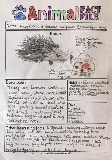 Xenia rescued a hedgehog and made a fact file!