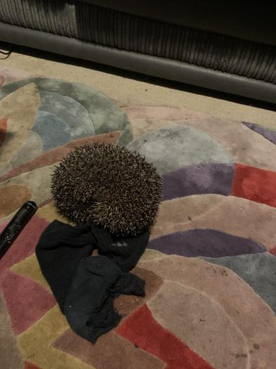 Elodie found a hedgehog - Its their national week!