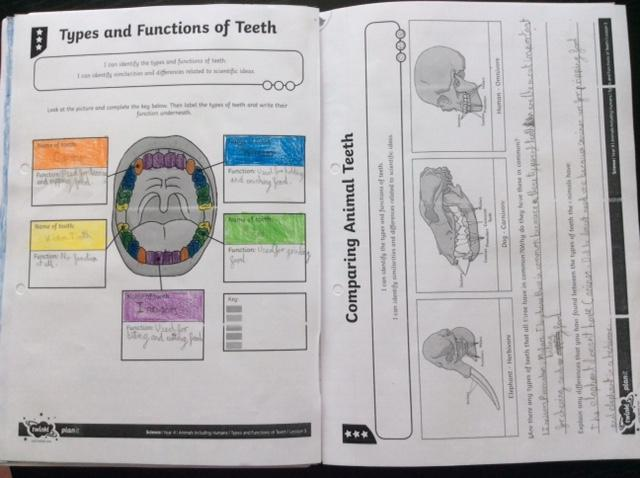 Elisabeth's teeth learning