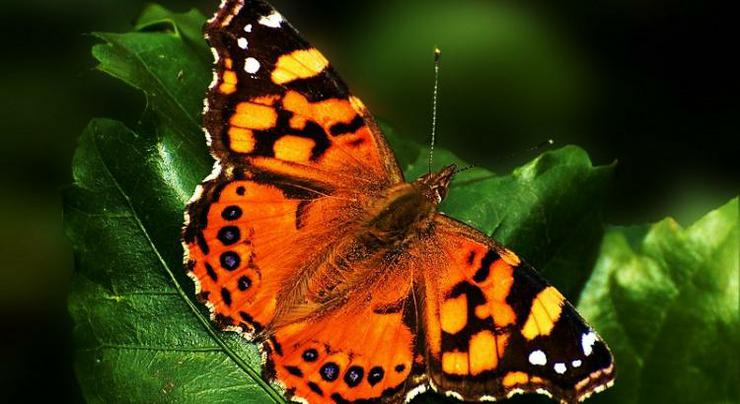 A Painted Lady butterfly - all grown up