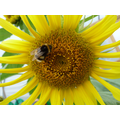 Pollinators are attracted to Year 1's sunflowers.