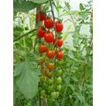 Plum tomatoes - yummy!