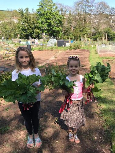 Collecting the rhubarb in the allotment