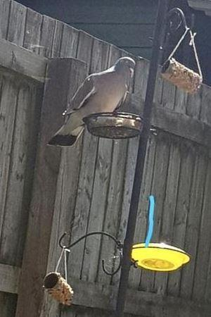 Olly in Farah Class took this photo of a Wood Pigeon feeding on the bird feeder he made.