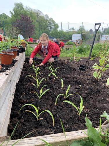 Planting the sweetcorn