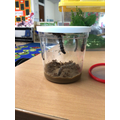 They're not tiny and hungry anymore... They are great big caterpillars!