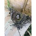 Robin's nest in Miss Cooper's garden
