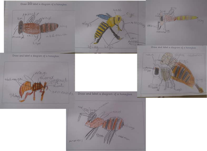 Diagrams of the Honeybee.