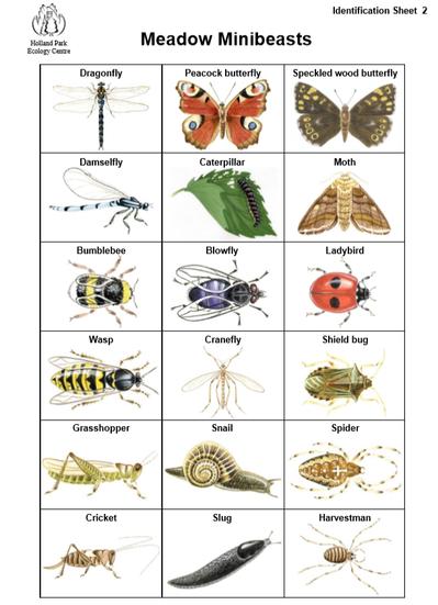 Meadow Minibeasts Identification Sheet