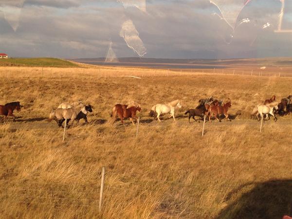 Wild Icelandic ponies.