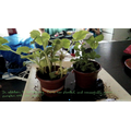 Raleigh: Demi R -pumpkin and pea plants from seeds