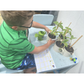 Josh has been measuring his sunflowers