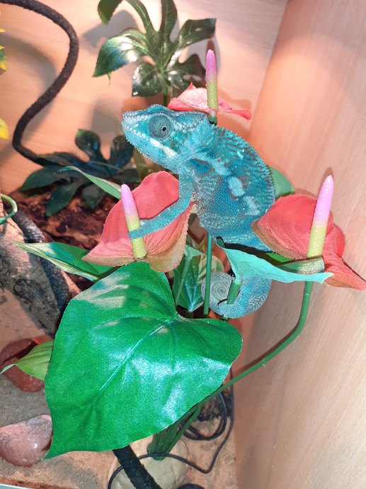 Voilet's familiy's new pet- a panther chameleon