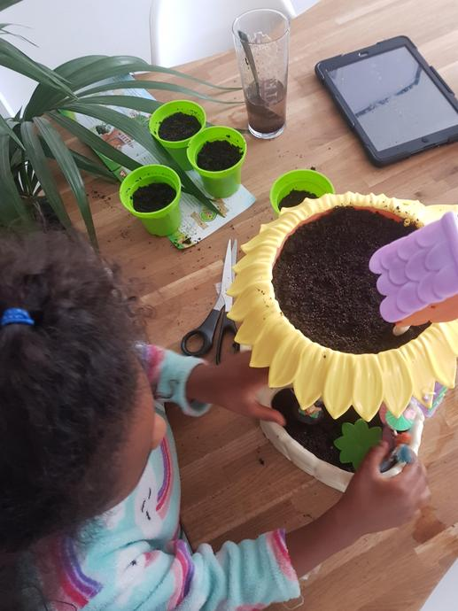 Planting mustard and pea seeds