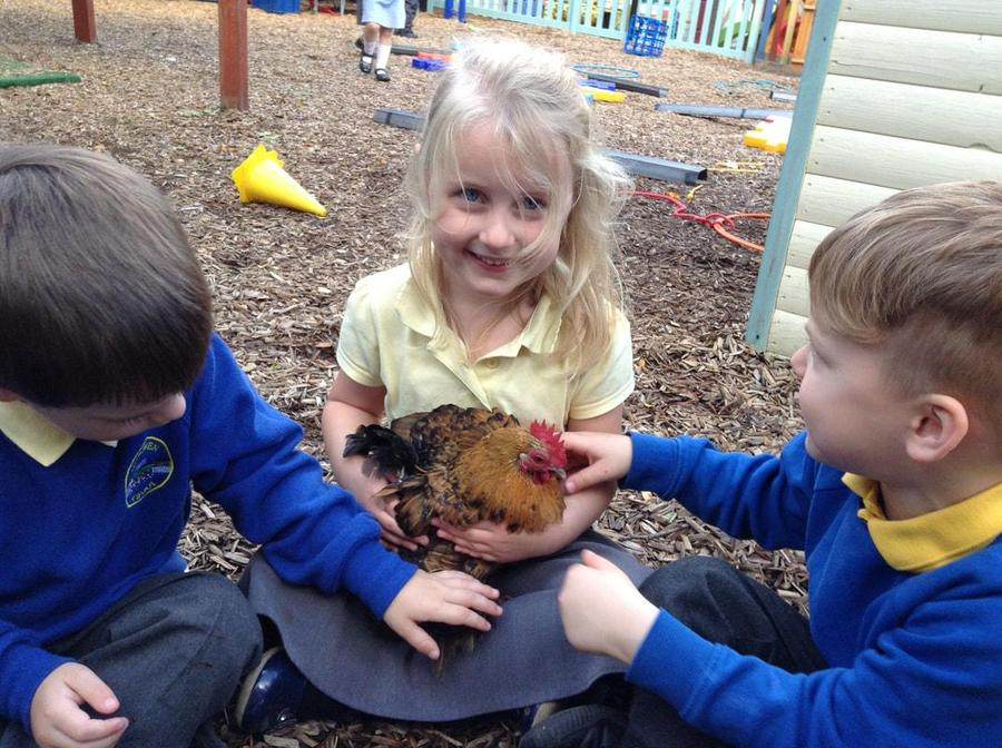 Caring for the school chickens.