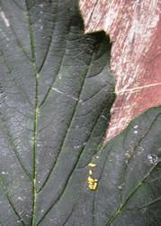 Yellow eggs on the leaf