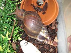 Gary the African Land Snail