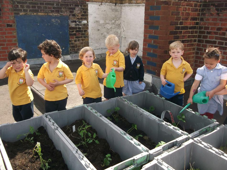 We planted and watered strawberry plants.