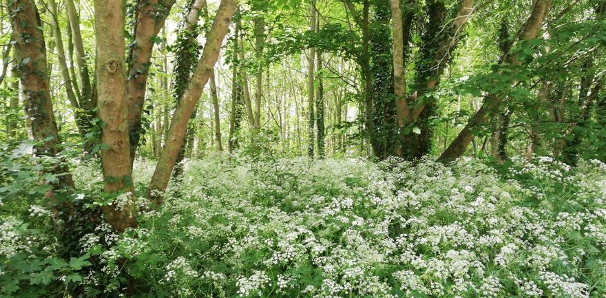 Cow parsley in a wood