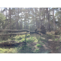 A pine tree which came down in front of me