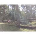 The top of the fallen pine tree