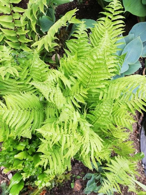 This is a fern
