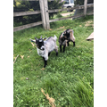 Max B's new goats - Gus and Otis