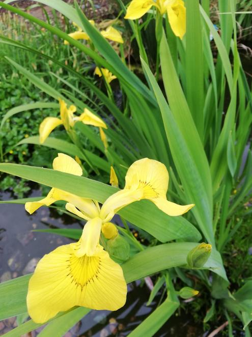 An iris bringing colour to the pond