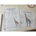 Abigail's fact finding - giraffes