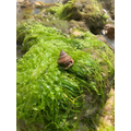 Layla's sea snail from rock pooling