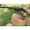 Poplar moth caterpillar