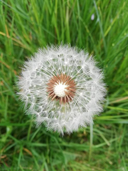 I just love the seed heads of dandelions