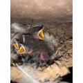 Jake's swallow chicks