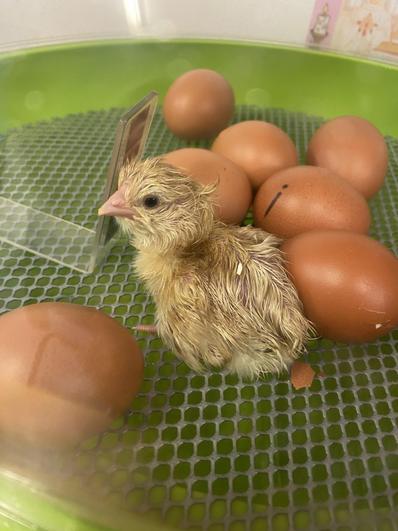 Cherry Class' first born chick!