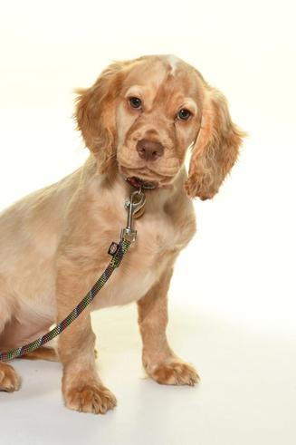 Basil - Trainee Therapy dog