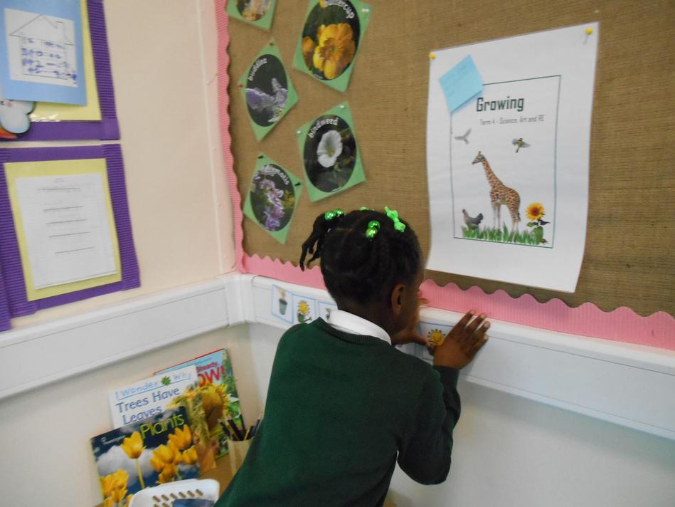 Malaika is using our interactive display board to sequence the 'seed to plant' pictures.
