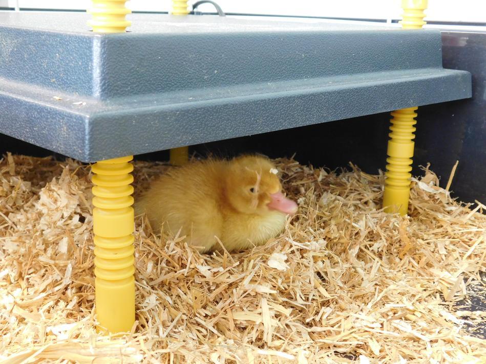 One little fluffy duck