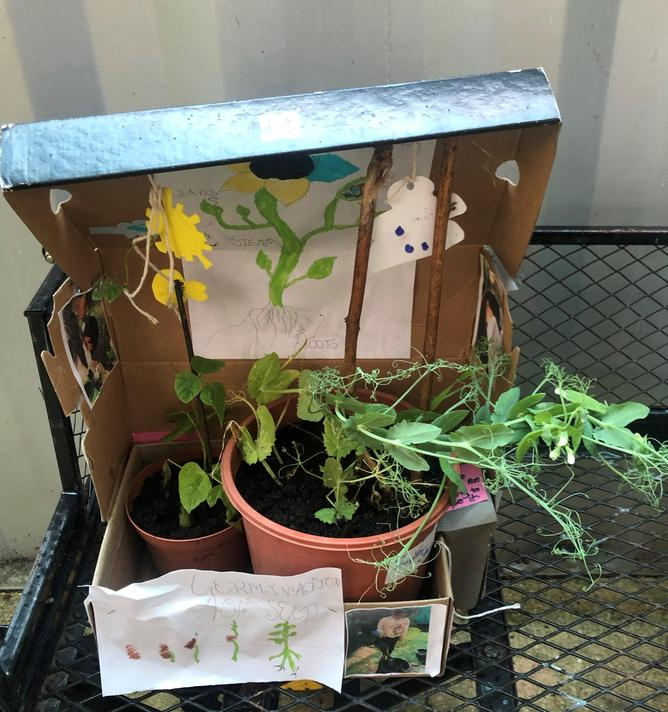 Pranita's Sweetpea and Bean plants