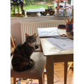 Isabelle's cat Pepper has been helping her study!