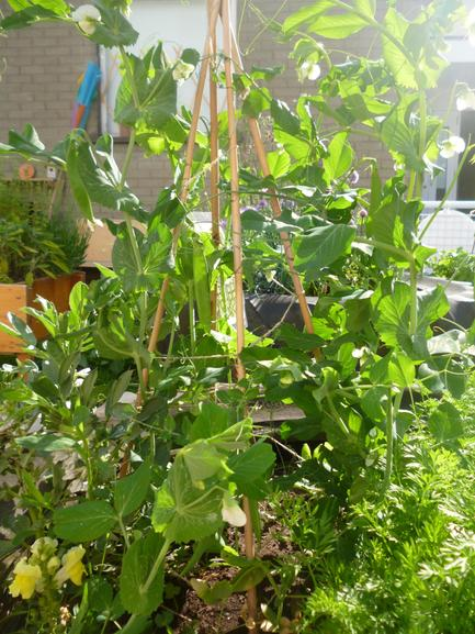 The peas and beans are growing really well.