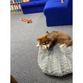 Buddy- our wonderful new school dog!