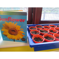 We planted our own sunflower seeds.