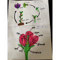 Jess' picture of parts of the flower and lifecycle