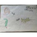 Alligator life cycle by Harry A