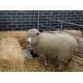 Hello baby lambs!